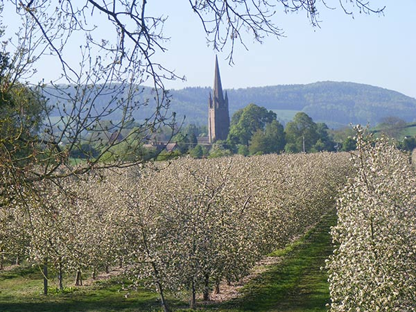 Harp orchard in full blossom in May