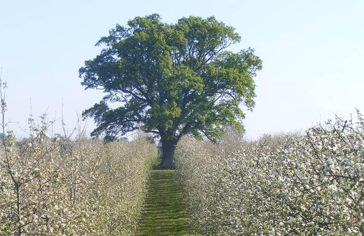 blossomtree thronefarm