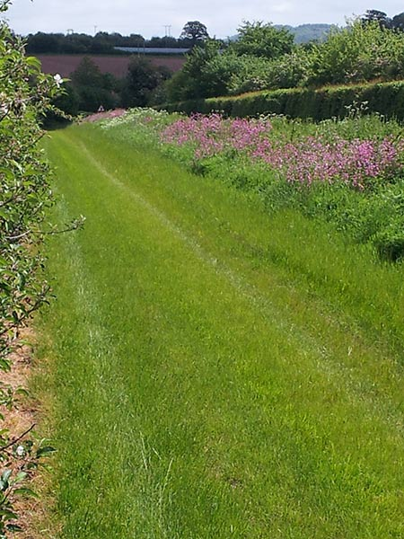 un mown strip: Insect & wild flower heaven