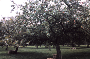traditional Herefordshire standard orchards